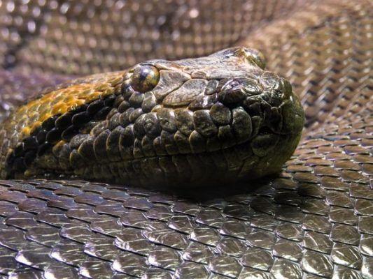 Анаконда, змея. Фото - pixabay