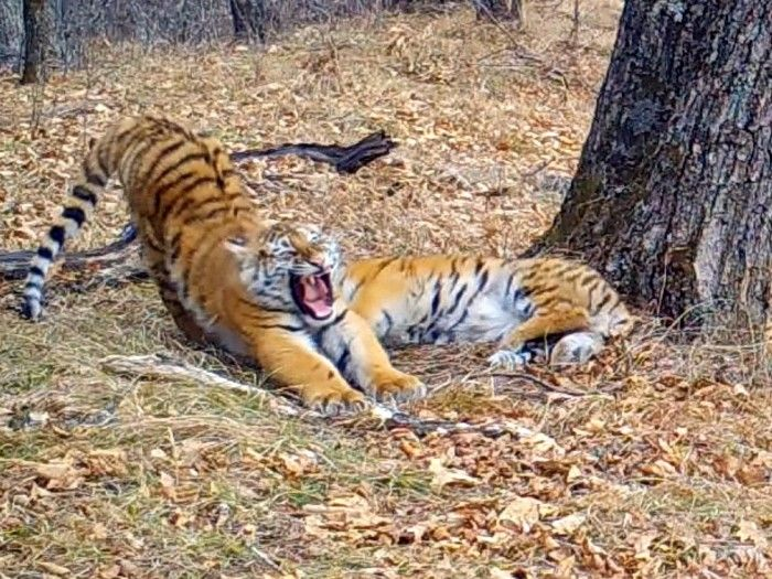 Амурские тигры. Фото - ФГБУ «Земля леопарда»