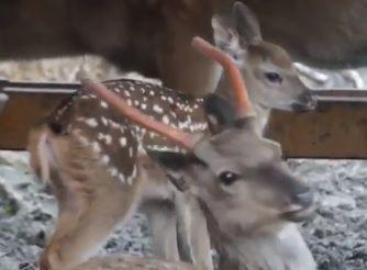 Пятнистый олень, олененок. Фото - скриншот видео зоопарка Садгород