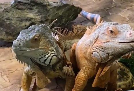 "Игуаны, игуана, ящерица. Фото - скриншот с видео зоопарка ""Садгород"""""