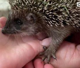 Ежи, ежата. Фото - скриншот с видео зоопарка Садгород