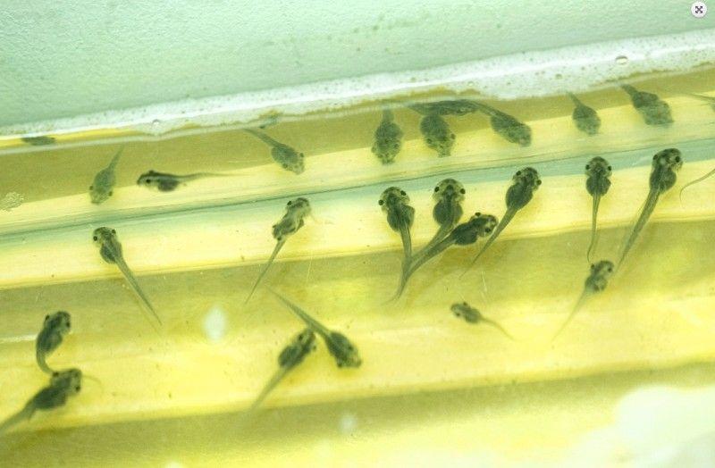 Лягушка. Фото - Приморский океанариум