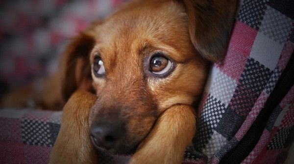 Собака, щенок. Фото - pixabay