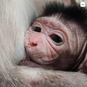 Детеныш макаки, обезьяна. Фото - скриншот с видео зоопарка Садгород