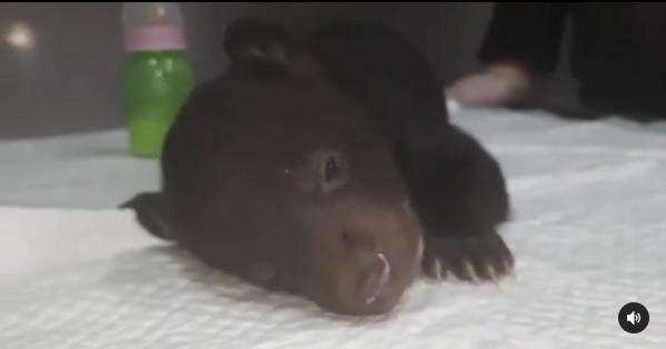 "Медведица, гималайский медвежонок. Фото - Центр ""Тигр"""