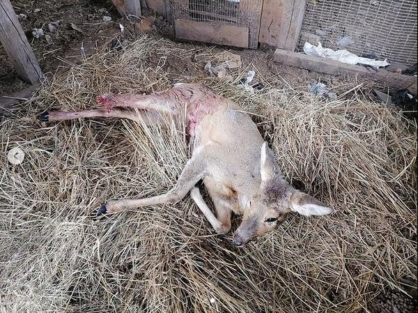"""Косуля, пострадавшая от собак. Фото - Центр """"Тигр"""""""