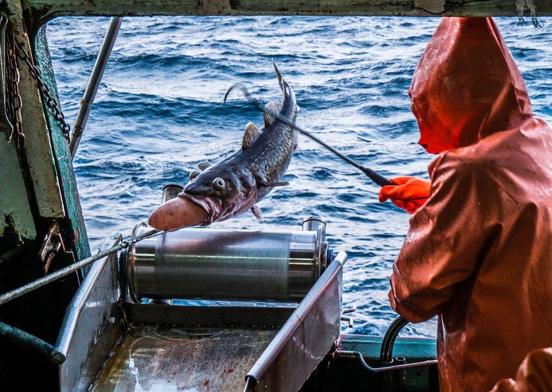 Треска, рыбак