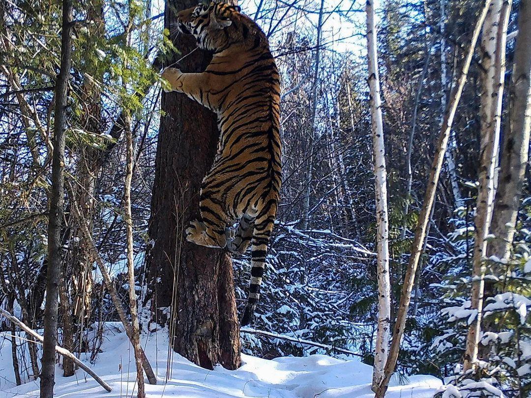 Амурский тигр. Тематическое фото
