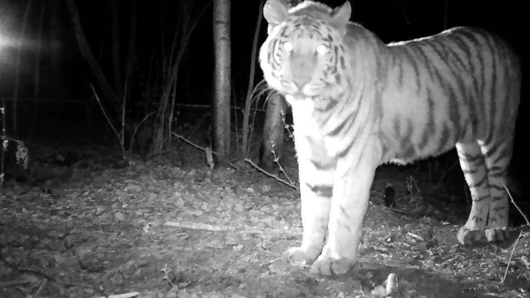 Тигр Павлик