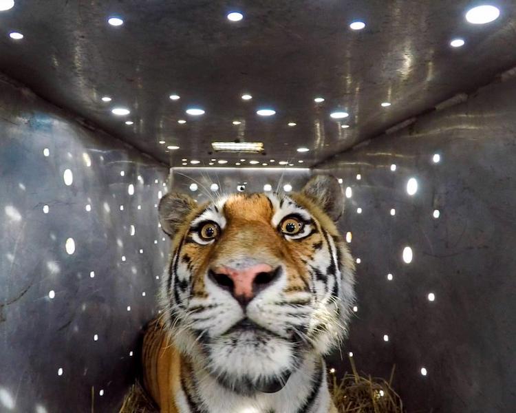 Тигрица Амба